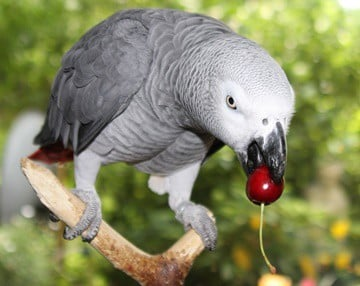 can you feed cherries to parrots?