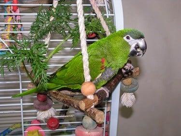 do mini macaws make good pets?