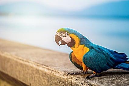do parrots have ears?
