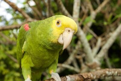 do parrots have good hearing?