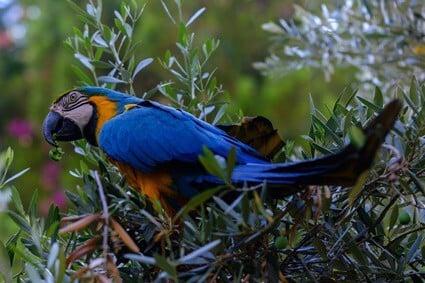 do parrots like olives?