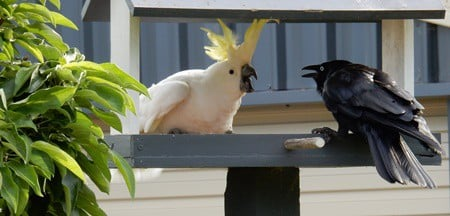 how many decibels is a cockatoo scream?