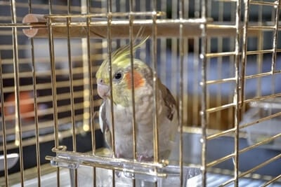 how much does a cockatoo cost?