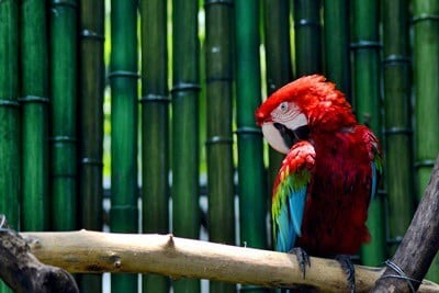 is bamboo bad for parrots?