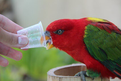is honey good for parrots?