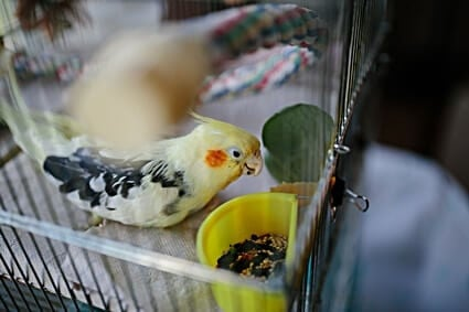 is spinach toxic to parrots?