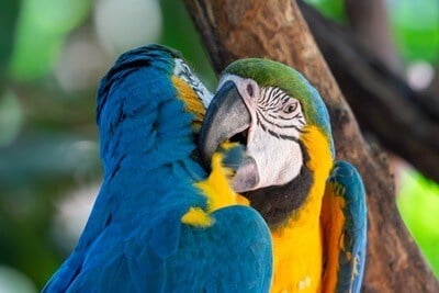 most gentle macaw