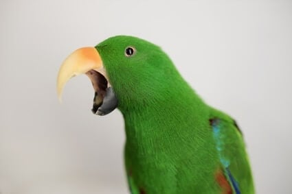 parrot repeatedly yawning