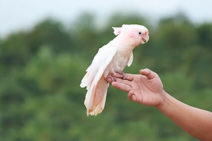 price of a baby cockatoo