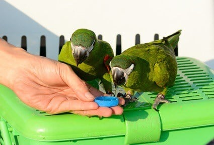 what do hahn's macaws eat?