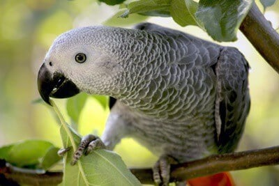 what is the price of an african grey parrot?