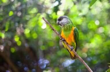 what's the quietest parrot?