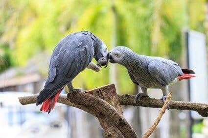 why are african grey parrots so expensive?