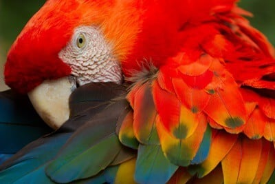 why are parrots colorful