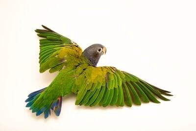 Blue-Bellied Parrot