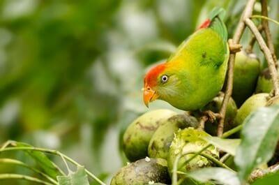 Sri Lanka Hanging Parrot