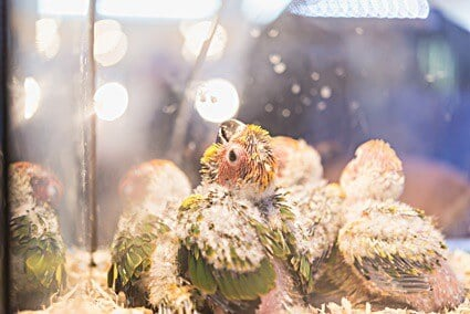 What time of year do sun conures breed?