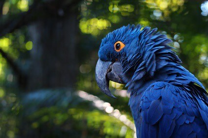 can parrots shed tears?