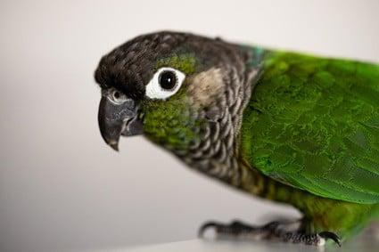 conure beak health