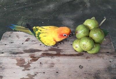 feeding parrots citrus fruits
