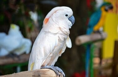 how do cockatoos learn to talk?