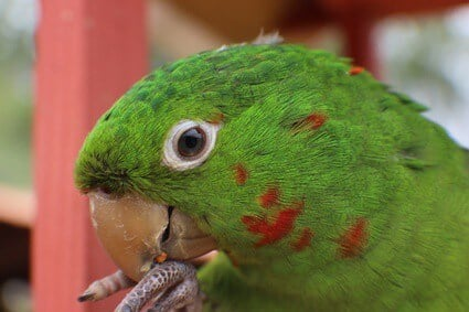 parrot chewing feet