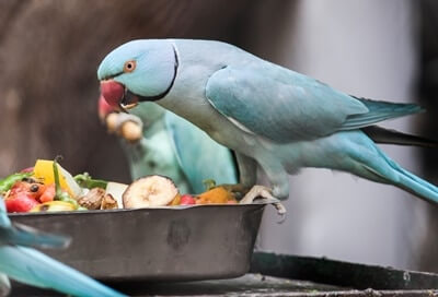 protein-rich food for parrots