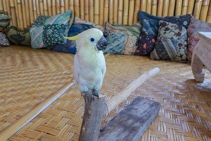what age do cockatoos start talking?