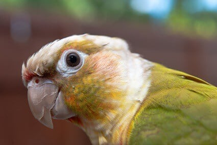 what is a pineapple green cheek conure?