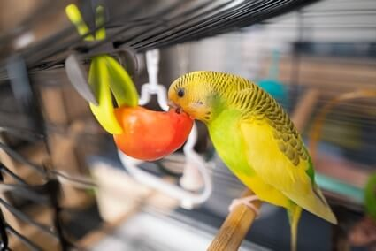 are Budgies good pets for beginners?