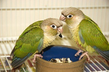 are Green Cheeked Conures good first birds?