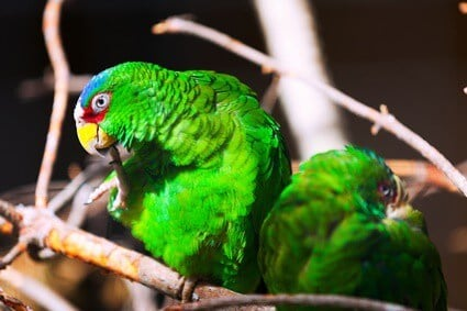 are White-Fronted Amazon Parrots good for beginners?