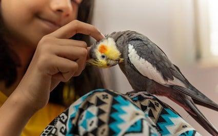are cockatiels good starter birds?
