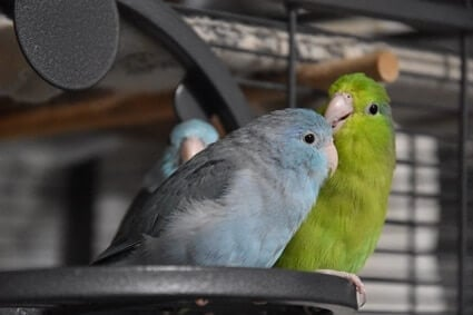 are parrotlets good for beginners?