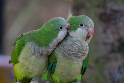 are quaker parrots good pets?