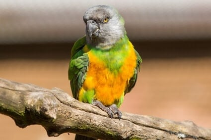 are senegal parrots good for beginners?