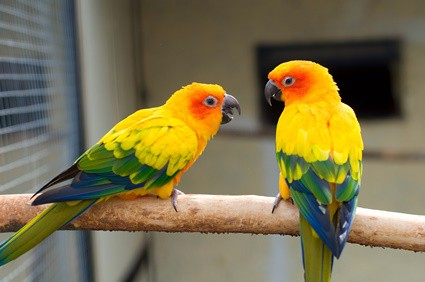are sun conures good for beginners?