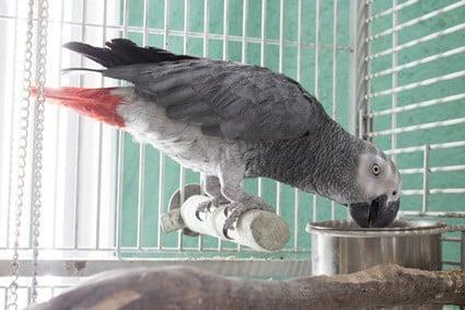 can parrots eat fresh herbs?