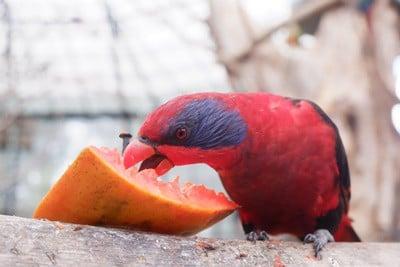 can parrots eat papaya?