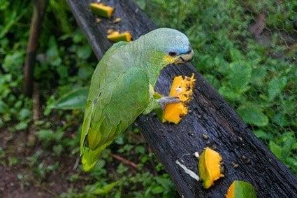 can parrots eat pawpaw fruit?