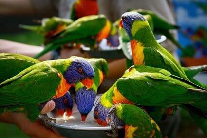 can you keep a rainbow lorikeet as a pet?