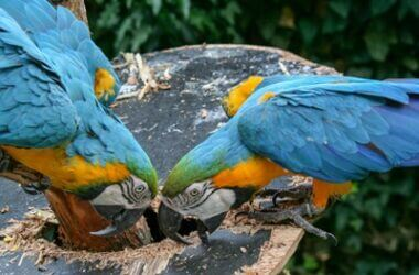 do parrots need gravel?