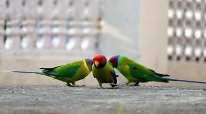 grit for pet parrots