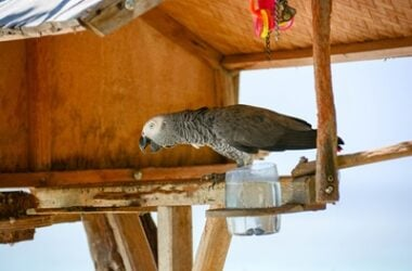 how long can a parrot survive without food?