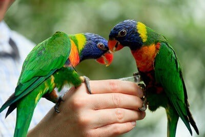 how to care for a rainbow lorikeet