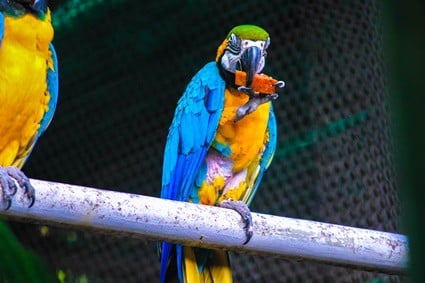 is papaya good for parrots?