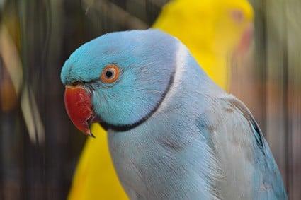 parrot beak turning black