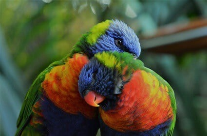 rainbow lorikeet common health problems