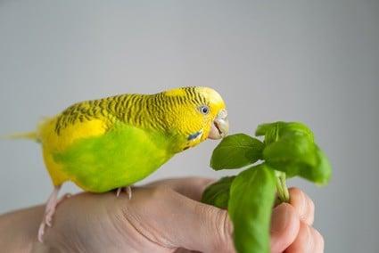 safe herbs for parrots
