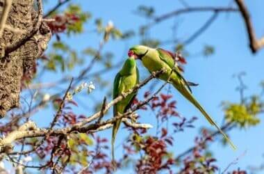 what does it mean when parakeets kiss each other?